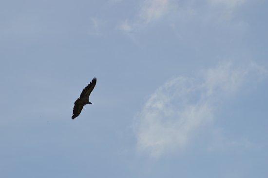 Pic du Jer : Griffon vulture.
