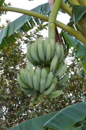 Parque Hotel Holambra: Fresh fruit on grounds