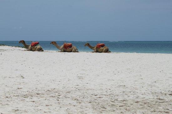 Pinewood Beach Resort & Spa: Camel rides - if you dare!