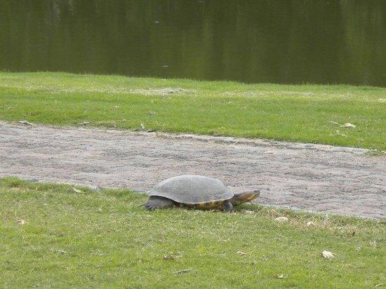 Marina Vallarta Club de Golf: Snapper on 12th Cart Path