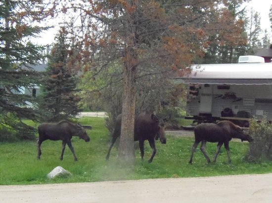 Elk Creek Campground and RV Park: Momma moose and two twins