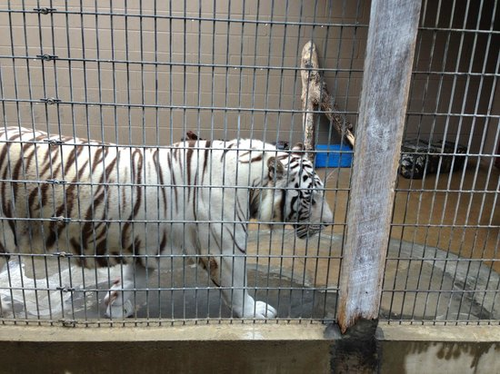 Cherokee Bear Zoo: Tiger