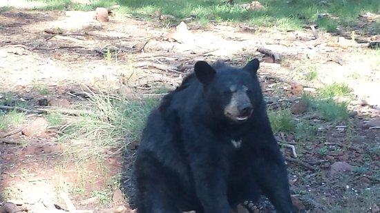 Bearizona Wildlife Park: adult bear