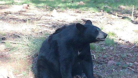 Bearizona Wildlife Park: adult black bear