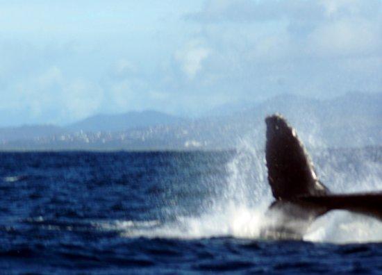 Coolangatta Whale Watch: Whales