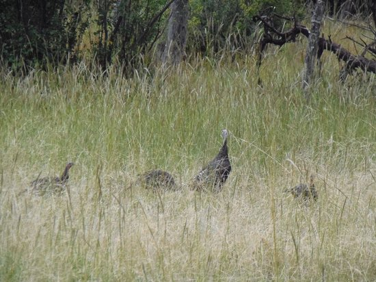 Aspenglen Campground, Rocky Mountain National Park: Turkey right behind our RV