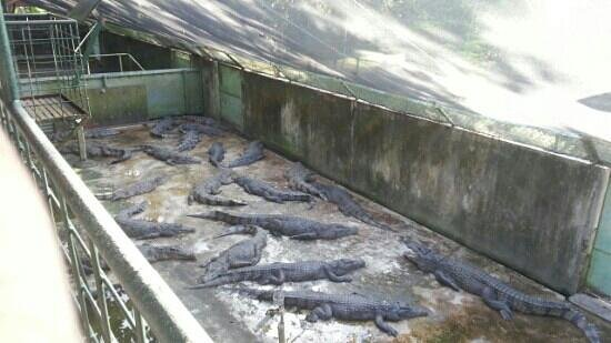 Palawan Wildlife Rescue and Conservation Center: crocs