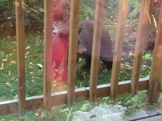 Stepping Stone Cabins Bed & Breakfast : Black bear not 2 meters from our breakfast room