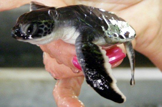 Bentota, Sri Lanka: Small turtle