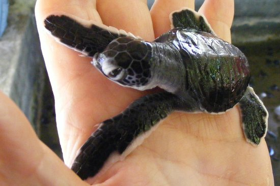 Sea Turtle Protection Association: Baby
