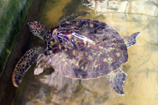 Bentota, Sri Lanka: Colourful shell