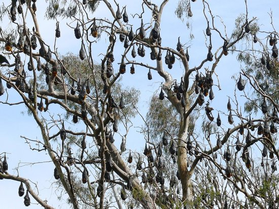 Studley Park Boathouse Cafe: Fruit Bats like pods