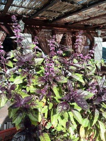 Pecenjara Bora Bora: Базилик цветет!