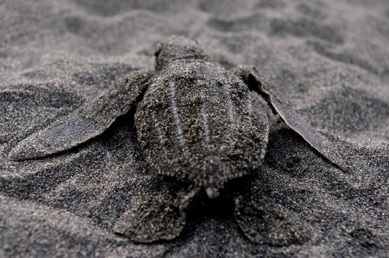 Casa Grande Ecolodge at Pacuare Reserve: Baby turtle on dawn patrol