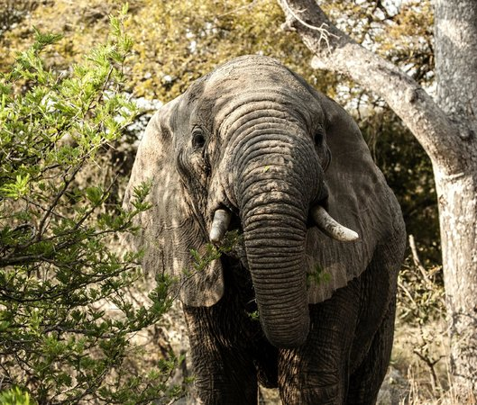 Inyati Game Lodge, Sabi Sand Reserve : Elephant eating some of the 200 kgs they have each day