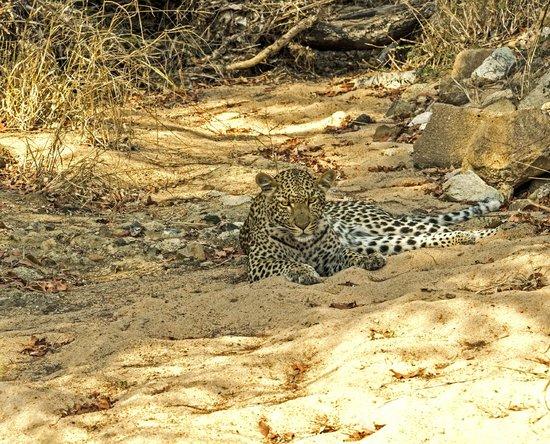 Kambaku Safari Lodge : Marula - the star of Timbavati