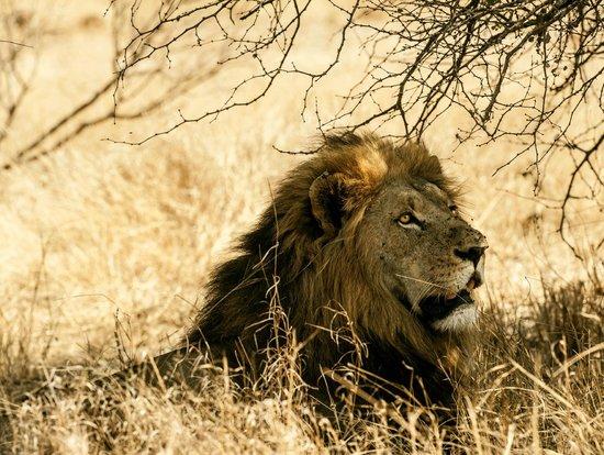 Kambaku Safari Lodge : Lion king in repose