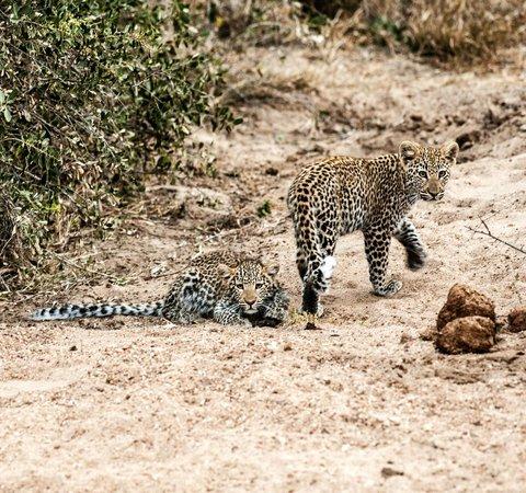 Kambaku Safari Lodge: Adorable leopard cubs
