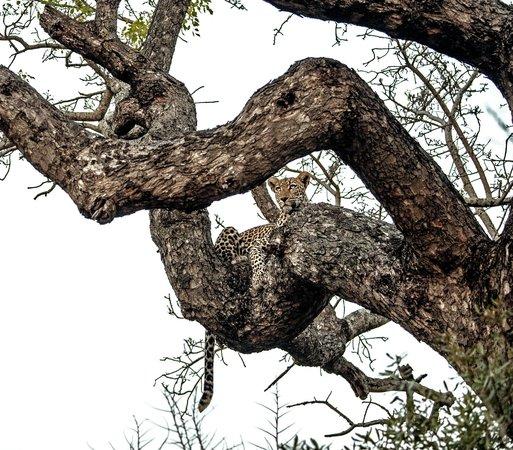 Kambaku Safari Lodge: Leopard in a pensive mood