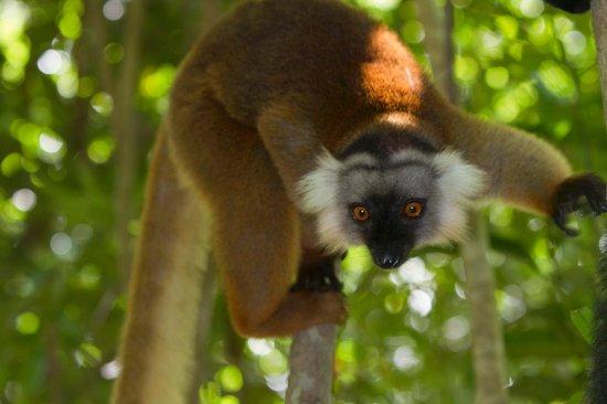 Ravintsara Wellness Hôtel  : Lemur