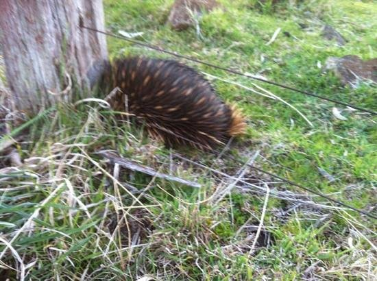 Ben Lomond, ออสเตรเลีย: Huge echidnas straight outside the house
