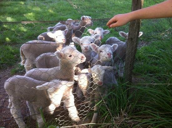 Ben Lomond, ออสเตรเลีย: Gorgeous, little lambs on the property