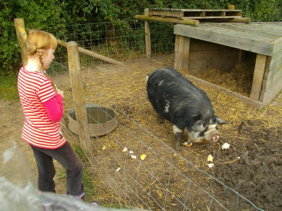 Feather Down Farms at Readyfields Farm: the very friendly and always hungry pig