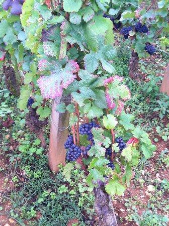 Authentica Tours : Premier cru grapes
