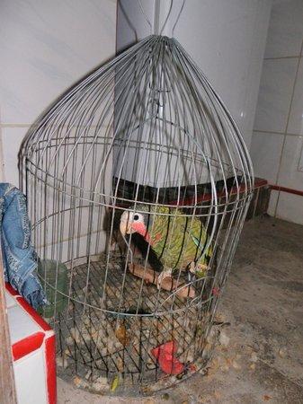Colonial Carlos : Le perroquet de la maison