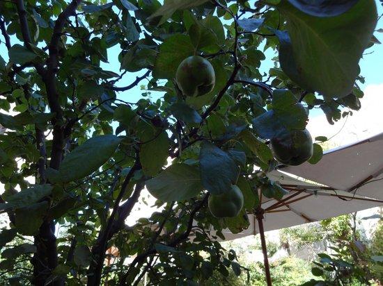 La Mirande Hotel: Quince tree in garden