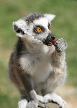 Tropical Wings Zoo : Young Lemur, feeding time at Tropical Wings