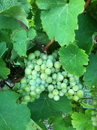 Chateau Chantal Winery and Inn: Grapes, it is a vineyard