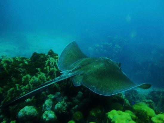 CoCo View Resort : Sting Ray