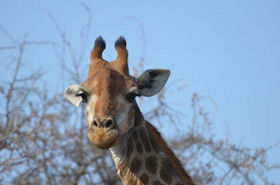 Ezulwini Game Lodges: The Giraffe (of course!)