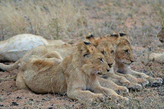 Ezulwini Game Lodges: Three lion cubs - amazing!