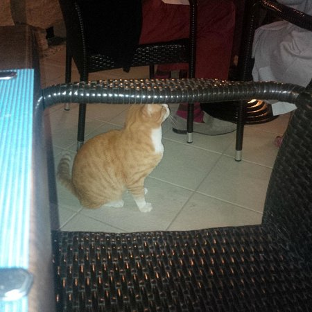 Palio's Restaurant at The Westin Dragonara Resort Malta: Great an annoying cat whist you are trying to enjoy a meal