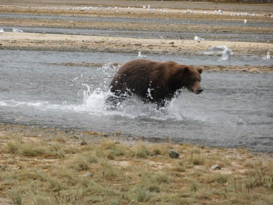 Kingfisher Aviation: Bear searching for salmon