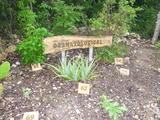 Leon Levy Native Plant Preserve: Medicinal beds - Dermatology