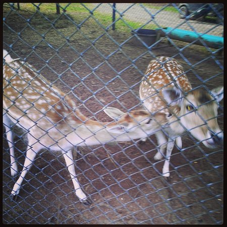 Bailiwick Animal Park : Deer