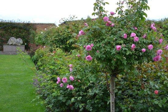 The Lion Garden Picture of David Austin Roses Wolverhampton