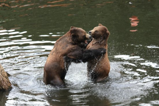 Fortress of the Bear : Two brothers tussle in pond.