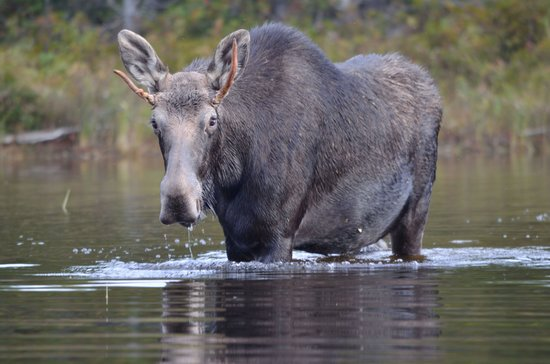 Northwoods Outfitters - Day Tours : Moose