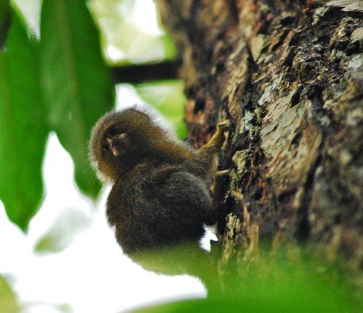 Libertad Jungle Lodge: pygmy marmoset monkey