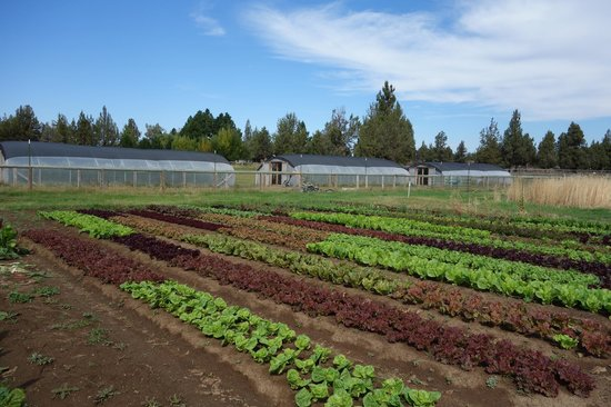 The Well Traveled Fork: Good Earth Farms last crop of lettuces.
