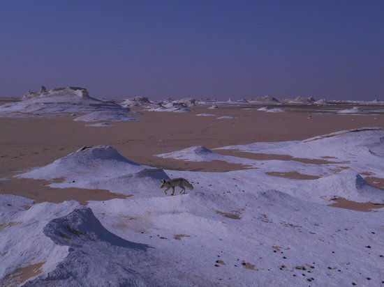 Farafra, Egypt: New visitor, White Desert, Egypt, #50