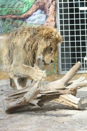 Zoo Fauverie du Faron : lion