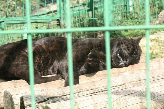 Zoo Fauverie du Faron : panthère
