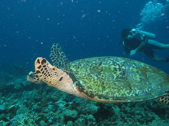 Baruna Dive Center Tulamben: une tortue verte