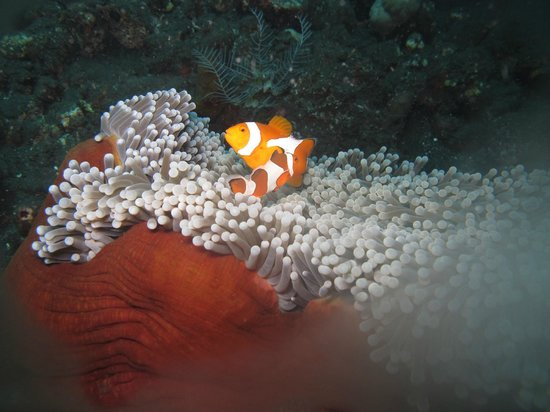Baruna Dive Center Tulamben: poissons clowns ds leur anemone