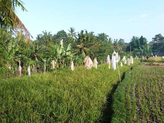 Okawati Hotel: rice paddy fields from the garden - can be seem from 5b